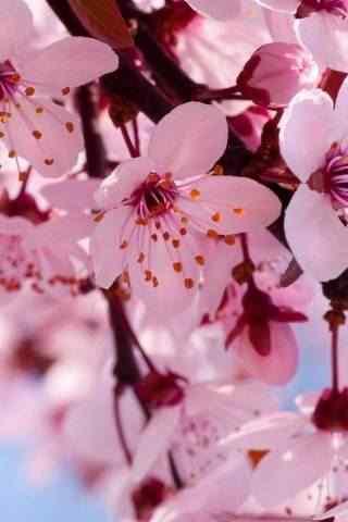 春日唯美粉色花朵