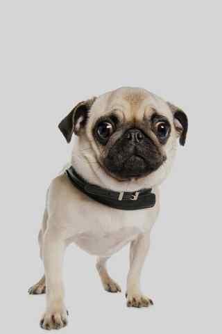 可爱的狗狗手机图