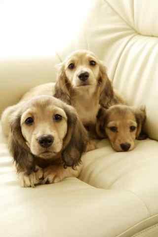 三只金毛在沙发上