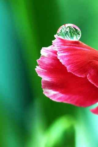 花瓣上的水珠高清