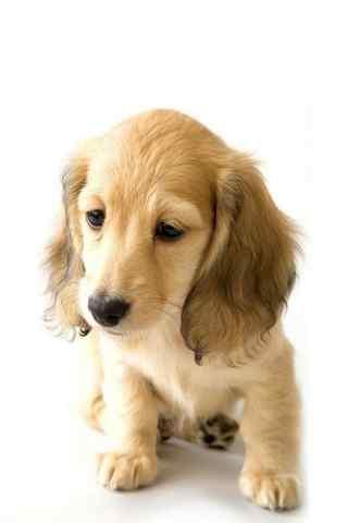 可爱金毛犬写真手机壁纸