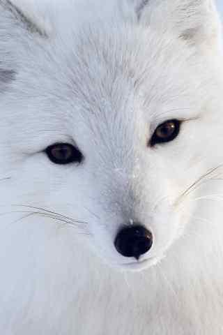 白色可爱的狐狸 - 手机壁纸 - 桌面天下(desktx.com)