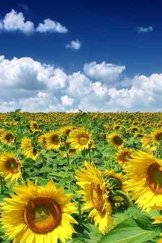 向日葵风景手机壁纸