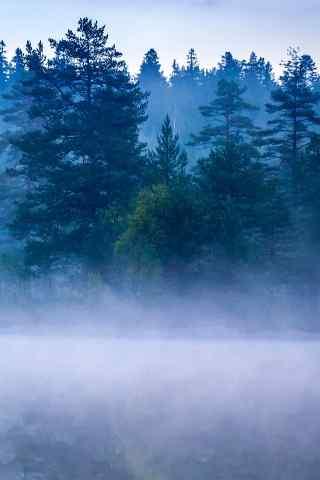 雾气漫天的松树林