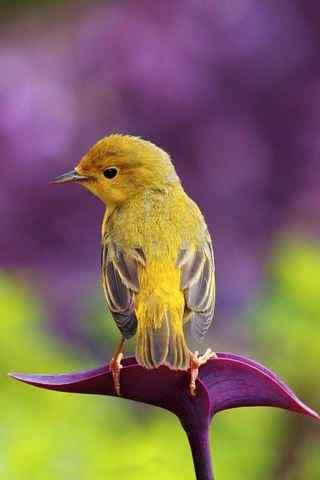 飞禽黄色小鸟高清手机壁纸