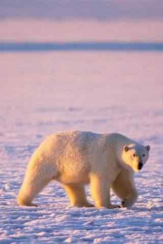 冰天雪地北极熊高