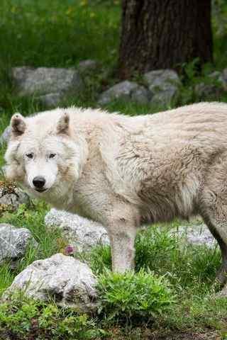 草地猛兽白狼高清