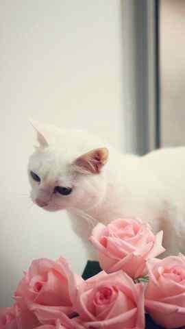 玫瑰小白猫iPhone