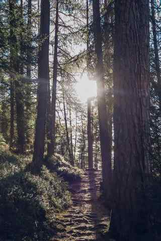 透过晨光下的森林大树清新手机壁纸