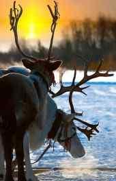 麋鹿 圣诞麋鹿超可爱高清手机壁纸