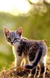 可爱|可爱的猫咪