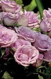 玫瑰花|粉色玫瑰