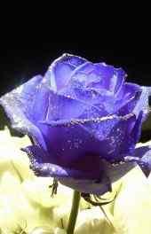 玫瑰|紫色玫瑰唯