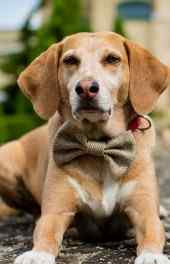 小狗|黄色小狗高