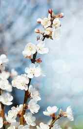 花卉|白梅花花朵可爱高清手机壁纸