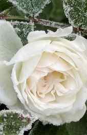 白色|白色玫瑰花