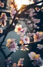 桃花|桃花图片高清手机壁纸大全