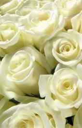 白玫瑰|白玫瑰高