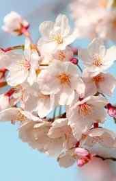 花卉 粉色桃花花朵图片精美高清手机壁纸