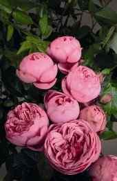 玫瑰|粉色盛开玫