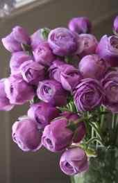 玫瑰|玫瑰图片手
