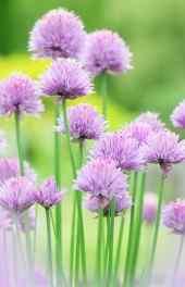 清新紫色小花风景