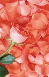玫瑰|玫瑰之恋高