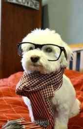 小狗戴眼镜动物高