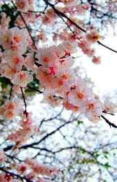 梅花|梅花的图片高清手机壁纸大图