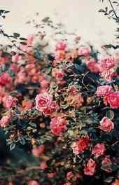 玫瑰|玫瑰花图片