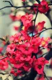 梅花|梅花图片高清高清手机壁纸