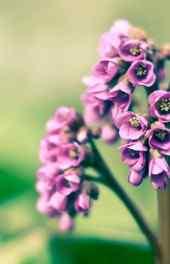 美丽紫色丁香花手