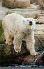 大白熊|北极熊高
