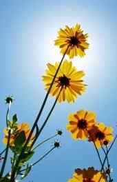 花朵|阳光下的黄