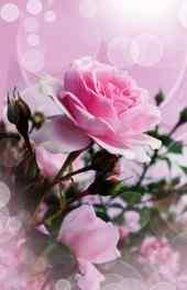 花卉|娇艳的玫瑰