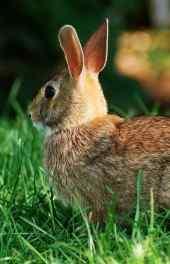 绿草|绿草小兔子