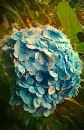 蓝花紫阳花植物手