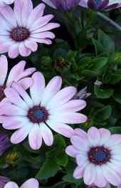 雏菊花绿叶高清手机壁纸