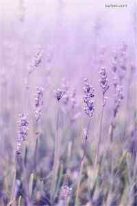 唯美植物景色紫色薰衣草高清高清手机壁纸下载