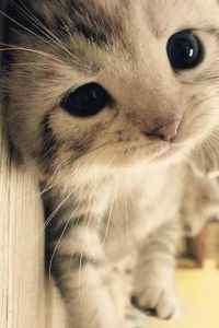 卖萌的可爱猫咪大
