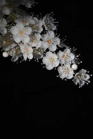 白色秀美珍珠花高清手机壁纸