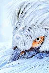 雪白霸气卷羽鹈鹕