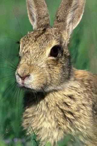 超级可爱的小灰兔