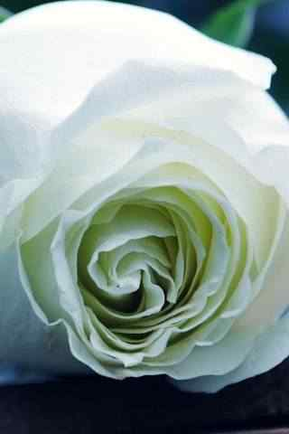 超美微距玫瑰花高