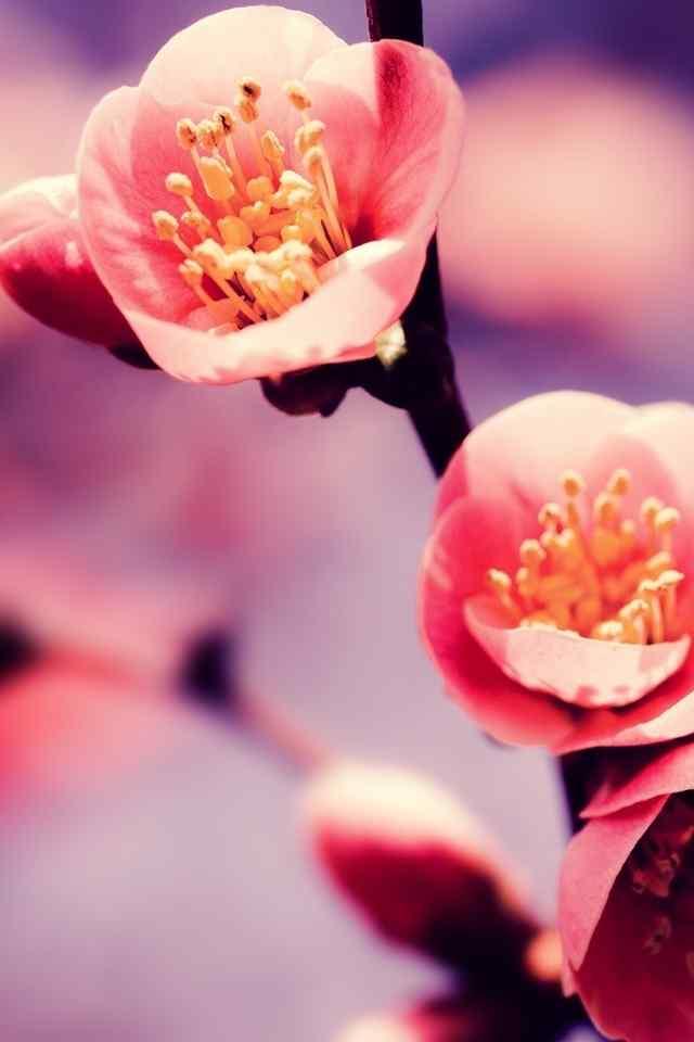 美丽的花朵含苞待放高清手机壁纸