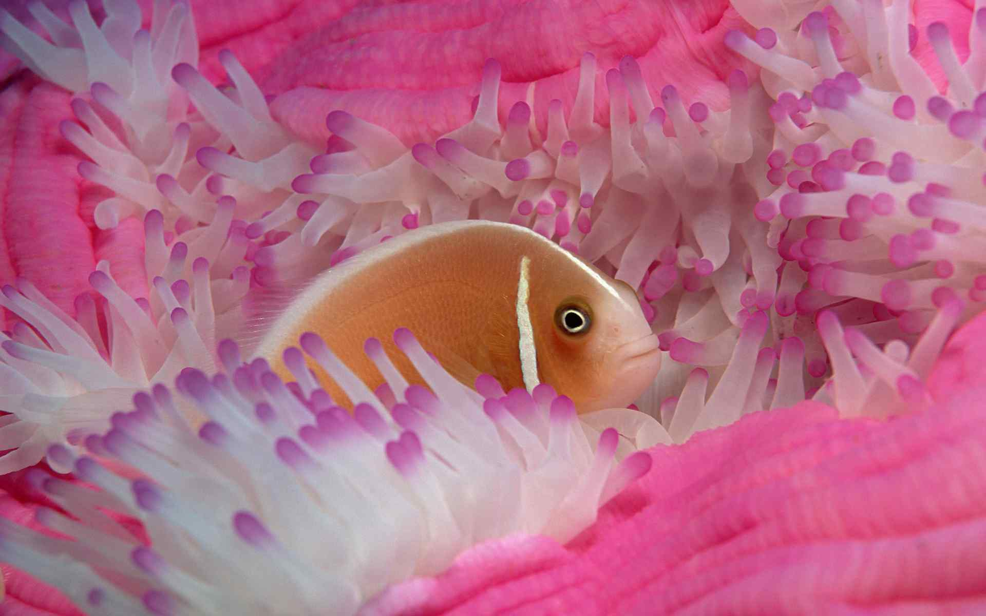 动物壁纸 > 大洋海底世界唯美珊瑚电脑桌面壁纸