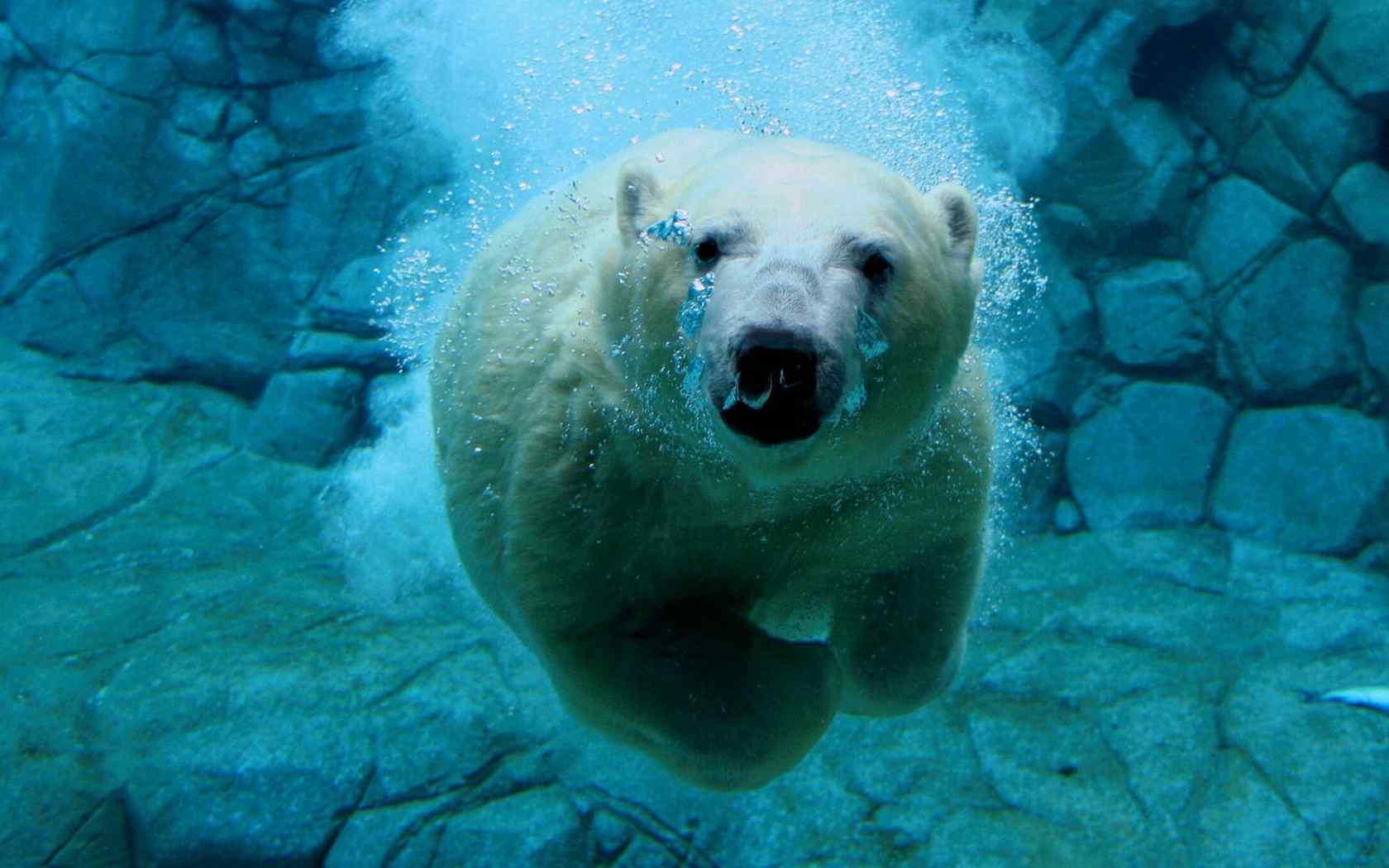 动物壁纸 > 在海里游泳的可爱北极熊高清电脑桌面