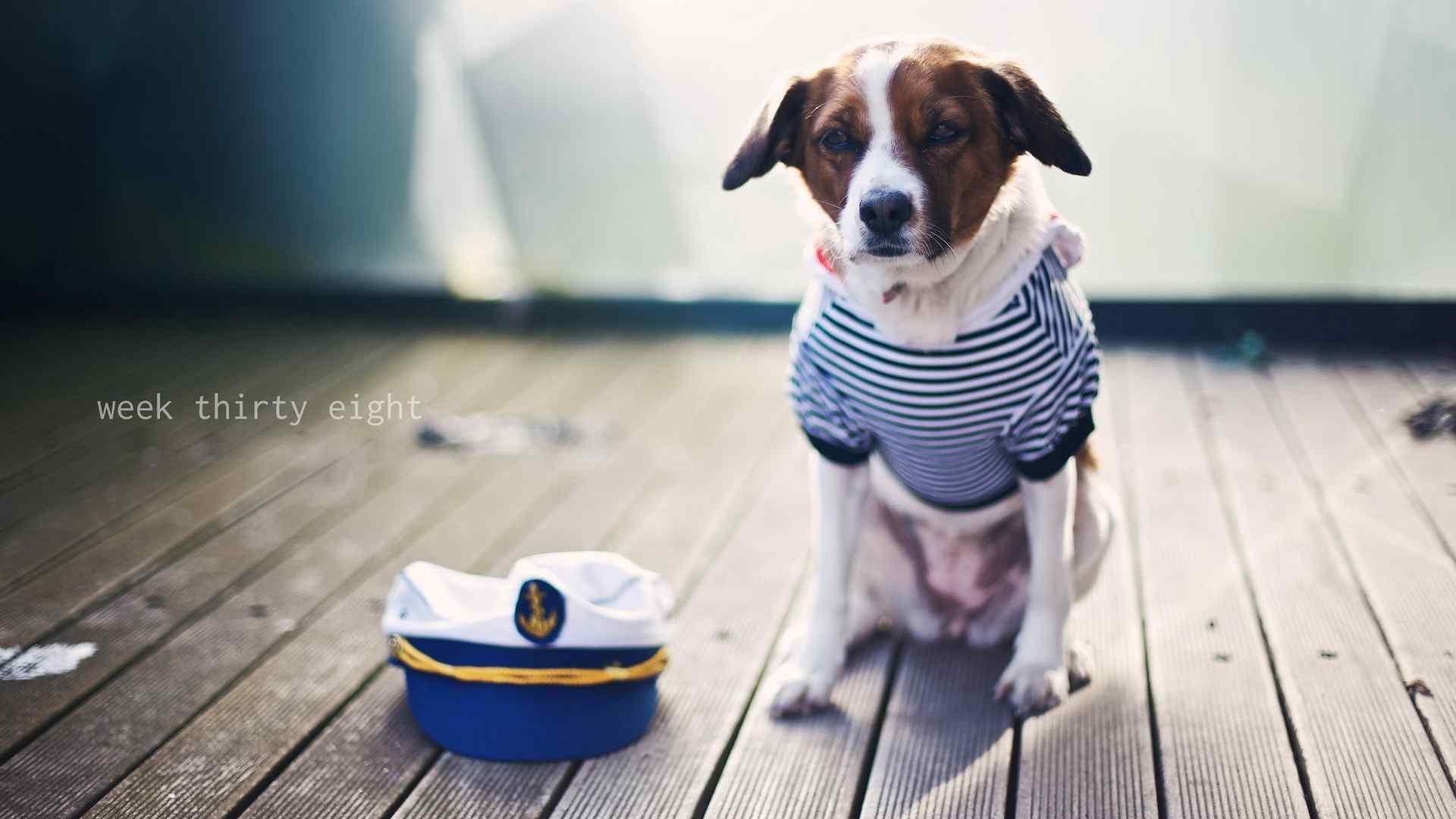 呆萌可爱的海军狗狗桌面壁纸
