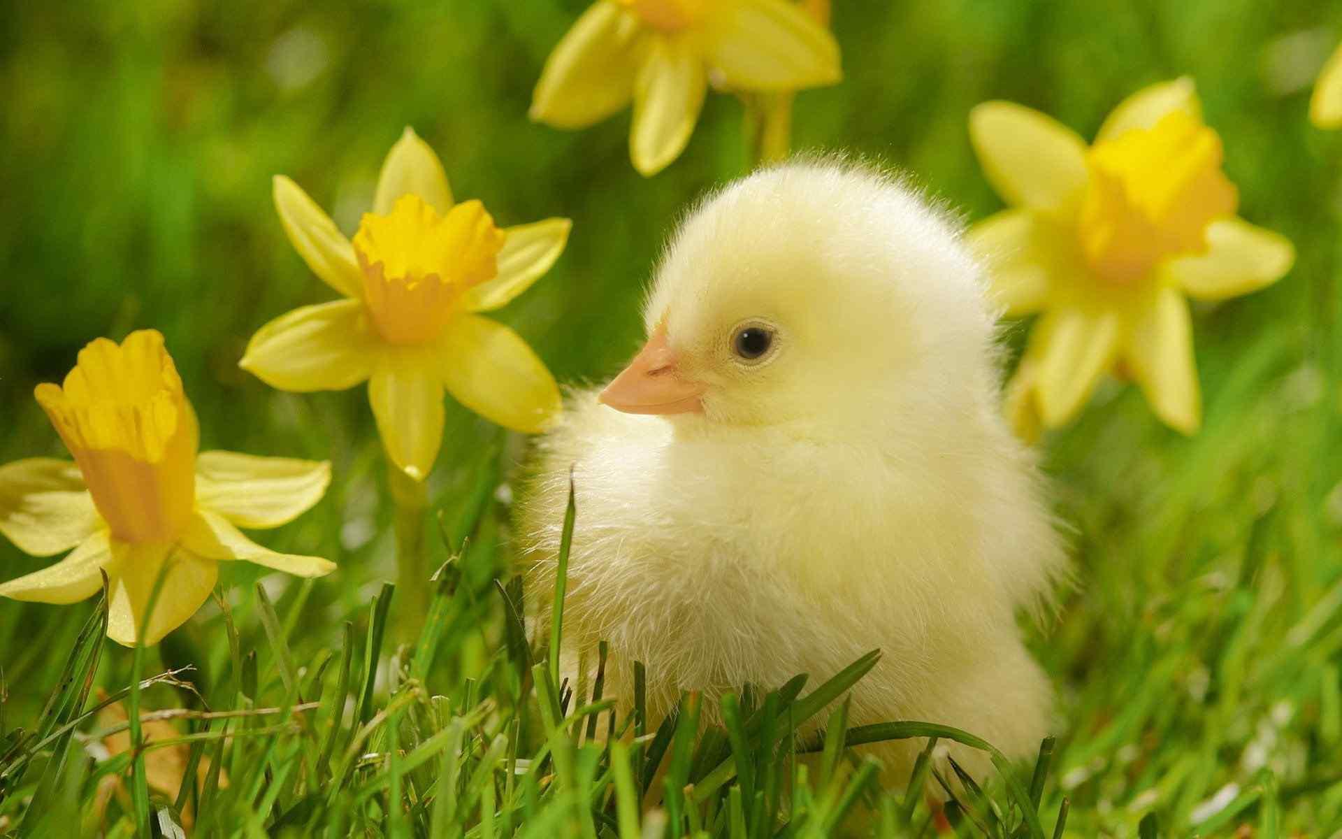 呆萌可爱小鸭子桌面壁纸图片