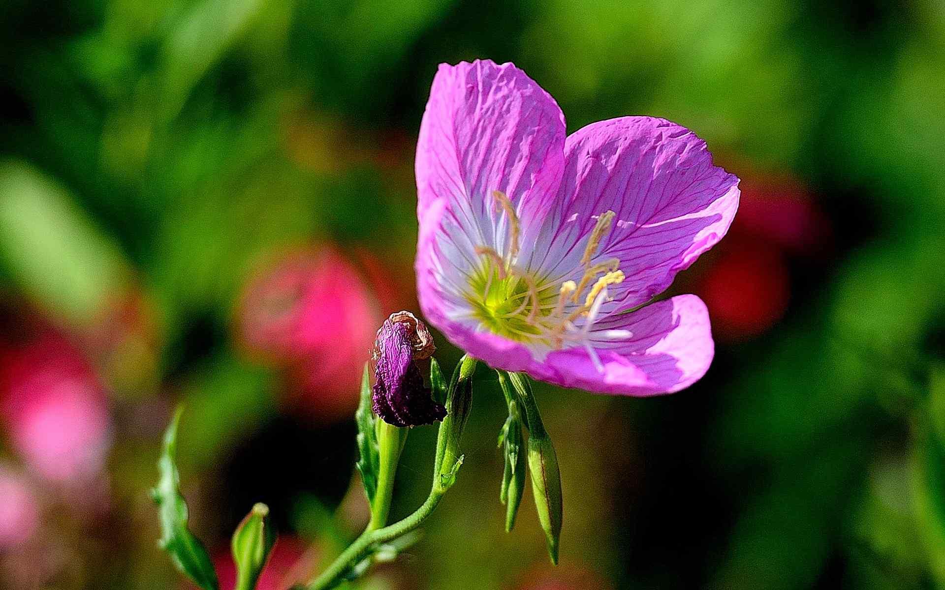 月见草清新植物花卉图片高清壁纸